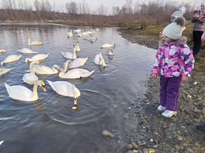 На Буковині на озері зимують десятки лебедів - фото