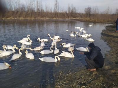 На Буковині може замерзнути унікальне озеро, де зимують лебеді