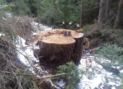 Самовільно зрізали хвойні дерева: на Буковині виявили незаконну вирубку