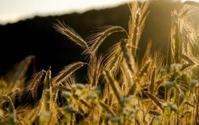 Морози на Буковині: синоптики розповіли про шкоду для урожаїв