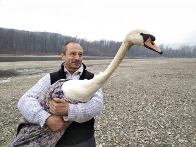 У Чернівцях зоозахисники випустили у природу лебедя, якого доглядали після травми – фото, відео