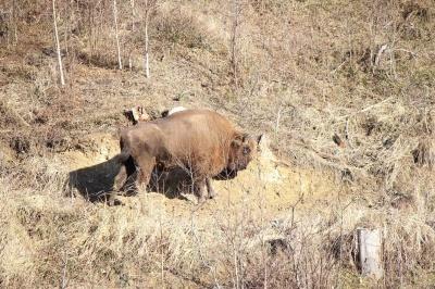 У заказник на Буковині привезли самку зубра «для збільшення популяції»