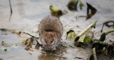 Ветеринар пояснив причину нашестя пацюків у Чернівцях