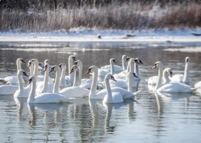 У Чернівцях на Пруті зимують близько 400 лебедів: птахи потребують допомоги