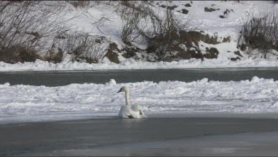 У Чернівцях співробітники ДСНС врятували лебедя, який примерз лапами до криги – фото