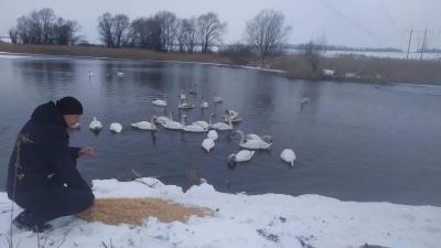 На Буковині приблизно 30 лебедів поселилися на озері в Кіцманському районі