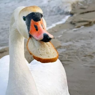 У Чернівцях лебеді гинуть, бо їх годують хлібом