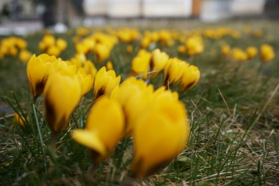 У центрі Чернівців розквітла галявина жовтих крокусів - фото