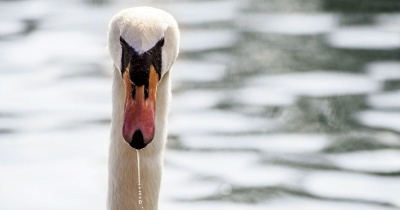 Мор птахів: на озері загинула майже сотня лебедів