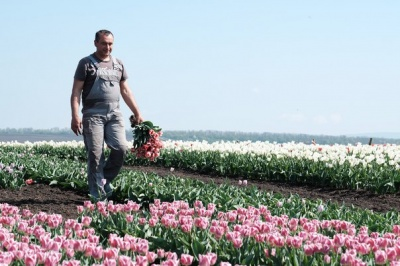 Тюльпанове поле з Буковини «переїхало» до Франківська: підприємець розповів про причини
