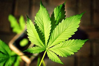 У штаті Нью-Йорк легалізували вживання марихуани