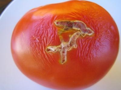 На Буковині на турецьких помідорах виявили небезпечного шкідника