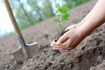 Усі йдуть саджати: у Чернівцях завтра будуть озеленювати місто