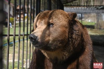 Ведмедя Юру, який 14 років жив у вольєрі на території готелю, забрали до реабілітаційного центру