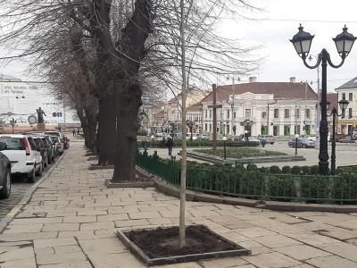 У центрі Чернівців на місці знищеного в ДТП дерева посадили нову липу