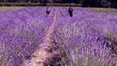 10 гектарів квітів: на Буковині висадили найбільше в Україні лавандове поле