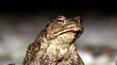 В Естонії на два тижні перекривають трасу заради сонних жаб