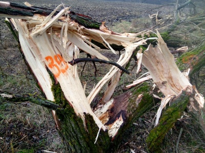 Повиривали з корінням: у лісництві на Буковині пошкодили майже сотню дерев