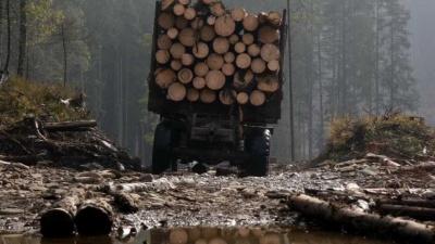 На Буковині незаконно нарубали цінних дерев на 200 тисяч