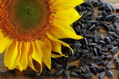 Насіння соняшнику: в чому користь для організму
