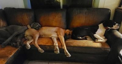 Собаки, які заснули занадто раптово: добірка кумедних фото