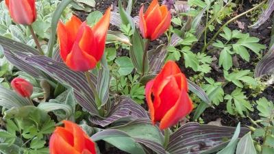 Галявина тюльпанів та нарцисів: ботанічний сад у Чернівцях запрошує на екскурсію