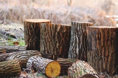 На Буковині судитимуть «чорного лісоруба»
