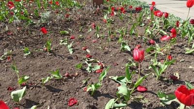 У центрі Чернівців невідомі затоптали клумбу з тюльпанами – фото