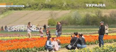 На ще одному тюльпановому полі на Буковині розквітло понад три мільйони квітів - відео