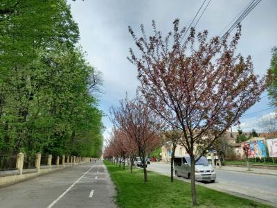 У Чернівцях зацвіло понад сто дерев сакури - фото