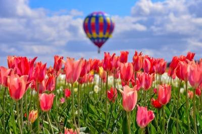 На тюльпанове поле під Чернівцями прилетить повітряна куля: що відомо