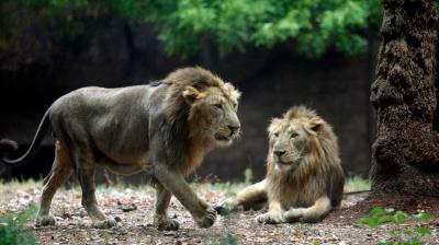 У двох левів виявили коронавірус: чи можуть тварини заразити людей