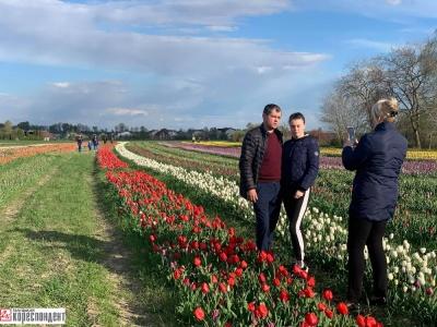 Як виглядає тюльпанове поле, яке підприємець перевіз з Буковини на Прикарпаття – фото
